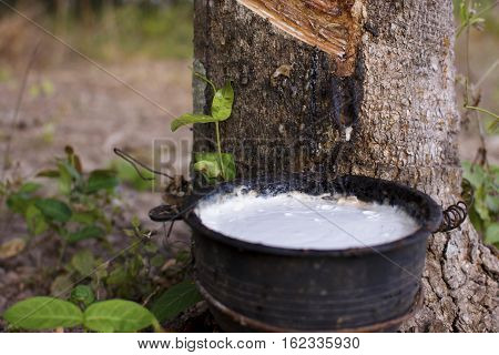 Tapping Latex From A Rubber Tree Close Up.