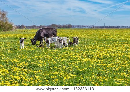 Cow with newborn calves grazing in pasture with blooming yellow dandelions