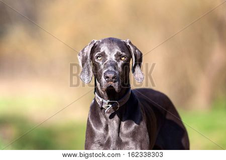 Weimaraner purebred dog stand outside in forest  portrait
