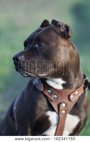portrait of Amstaff on a green meadow stock photo