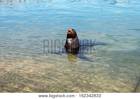California Sea Lion swimming in the marina in Cabo San Lucas Baja Mexico BCS