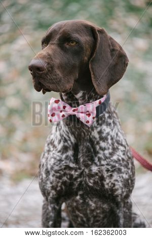 Cute German pointer dog posing outdoor with pink bow tie.