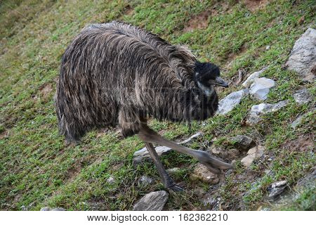 An Emu Bird Out in the Wild