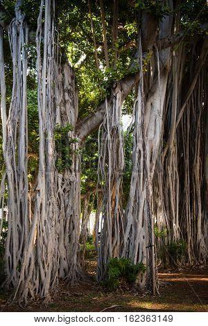 Large Banyan trees behind Iolani Palace in downtown Honolulu Hawaii