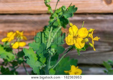 Chelidonium flower. Celandine used in alternative medicine.