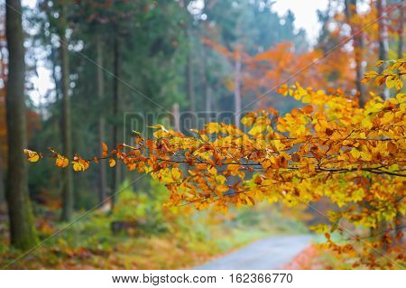 Branch With Autumn Colored Beech Leaves
