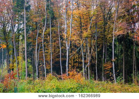 Beech Forest With Autumn Colored Leaves