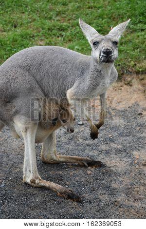 An Australian Kangaroo with its Baby Joey