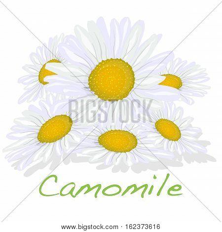 Camomile Illustration Vector