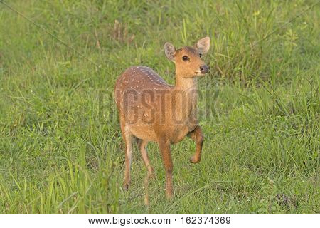 Spotted Deer Posing in a Meadow in Karizanga National Park in India
