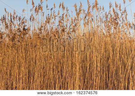 Dry reeds on a sunny winter day with blue sky