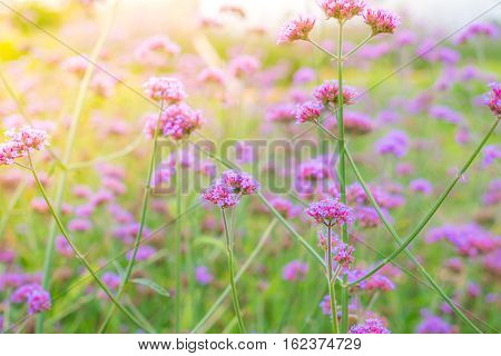 Beautiful pink bunch flowers on green grass background ( Filtered image processed vintage effect. )