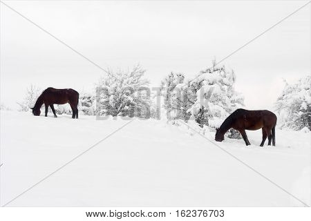 horses grazing in winter search for grass under the snow