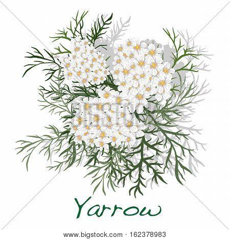 Yarrow. Medical Herb. Vector.