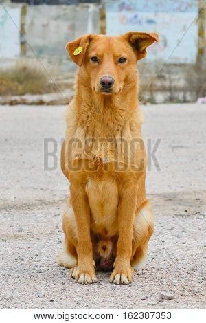 Kind stray dog with a clip in the ear, homeless neutered red dog