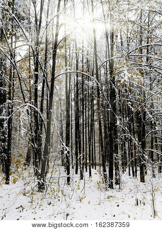 Snowbound trees in winter forest at morning