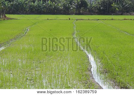 rice green on water  field in thailand.