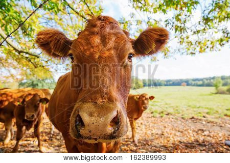 Head Portrait Of A Cow