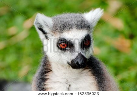 Cloeup view of a Ring tailed Lemur
