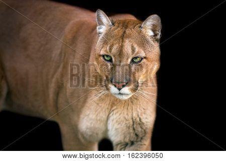 Puma portrait close up on black background
