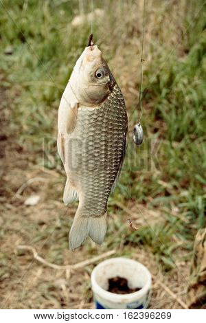 Crucian carp hanging on a hook caught by a fisherman in front of can with bait and grass.