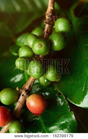 Growing coffee beans on  tree macro close up. Green coffee crop