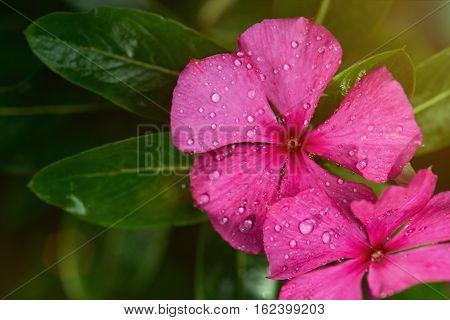 Dew drops on colorful vinca flowers close up