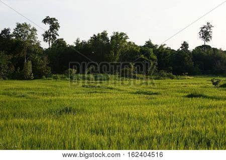 Rice Fields In Worm Light In Thailand Waiting For Harvest