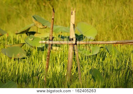 Lotus Farm In The Lake Grass Covered Up