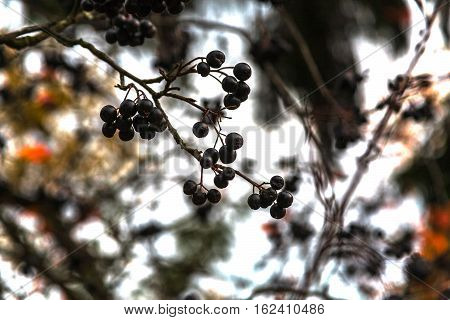 black mountain ash on a branch in an autumn garden against the background of branches and the sky
