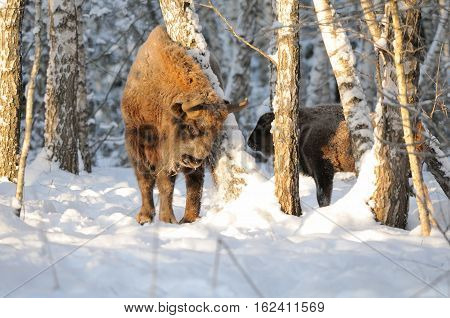 Adult and baby European bisons (Wisent Bison bonasus) in winter forest. National park Ugra Kaluga region Russia. December 2016