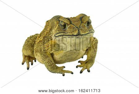 Toad yellow isolated on a white background