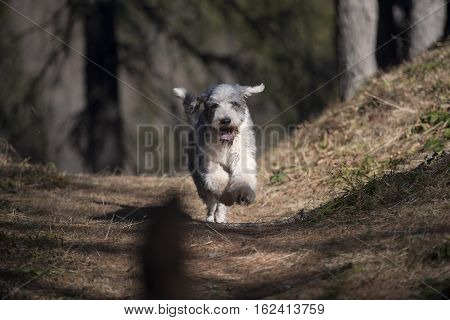 Cute Bearded Collie dog running in forest