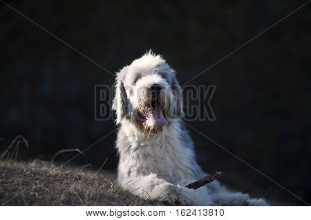 Happy Bearded Collie lying with a stick between his paws.