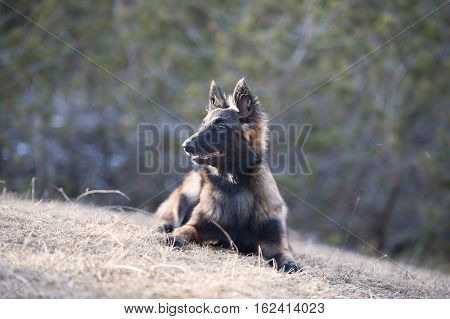 Belgian Shepherd puppy lying down. He is looking away. (long hair)