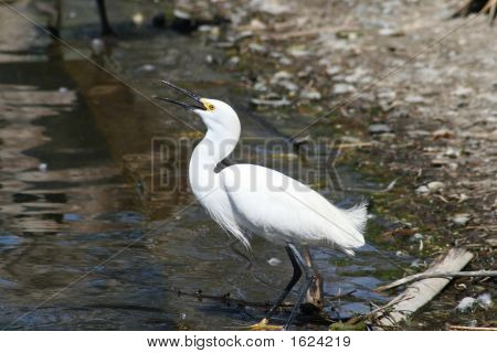 Egret At Waters Edge