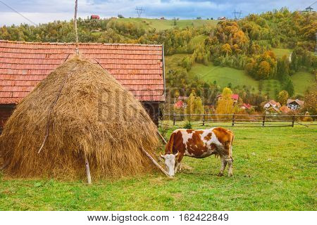 Autumn rustic landscape with a cow eating grass  in Carpathian mountains,  Transylvania, Romania