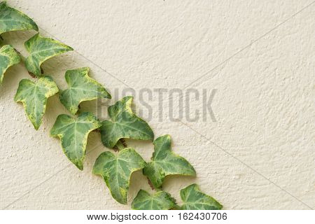 Ivy climbing on rendered wall of house