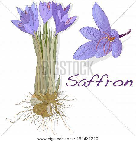 Saffron Flower Set. Vector.