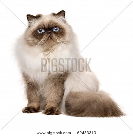 Cute 1 year old seal colourpoint persian cat is sitting isolated on white background