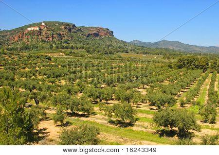 olive grove with the shrine of the Virgin de la Roca in the background, in Mont-roig, Tarragona
