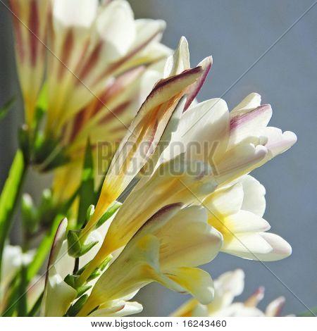 close up of few white wild liliums