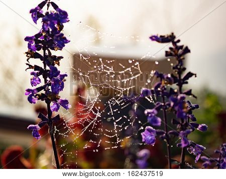Spider web with dew drop on lavender flowers. Selective focus