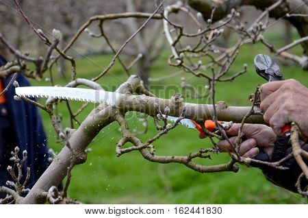 picture of a Farmer Pruning an apple tree with pruning saw while holding branch