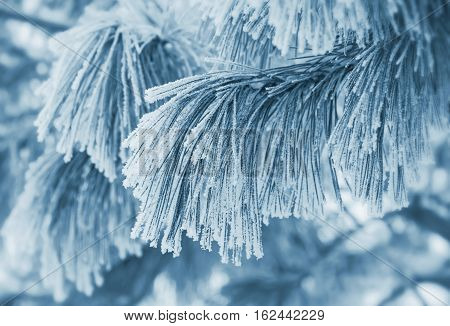 Winter scene with cedar branch covered with frost.