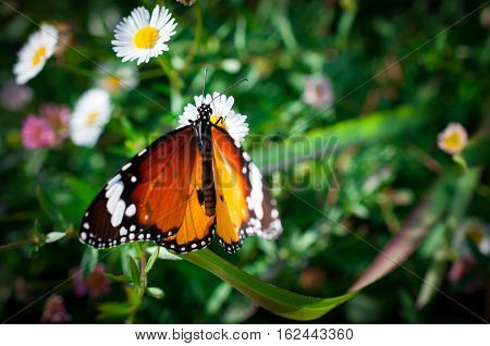 Beautiful Common Tiger butterfly on flower in the outdoor nature, Close up Common Tiger, Butterflies were flying in search of food.