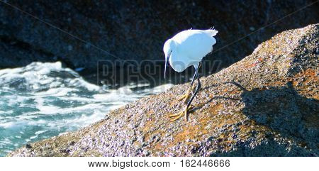 White Egret On Lands End At Cabo San Lucas Baja Mexico Bcs
