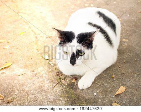 Siamese cat. White chubby. Fat cat close up.