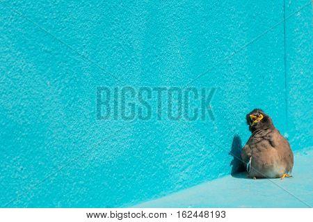 Bird (mynas Or Sturnidae) Emotional Shock