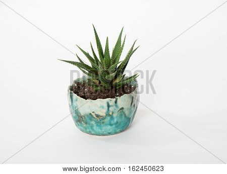 Succulent cactus in blue planter on white